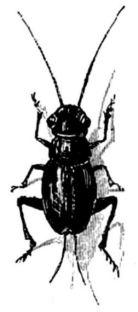 P04A- criquet
